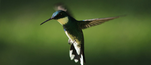 Hummingbird_300px